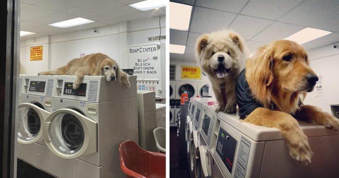 Perro que 'trabaja' en la lavandería no puede dejar de tomar siestas en todas las máquinas