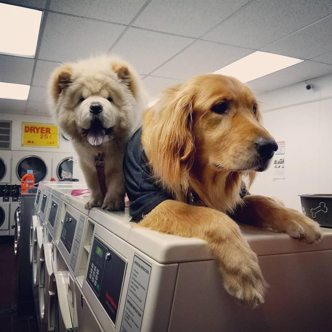 Perro que trabaja en la lavandería no puede dejar de tomar siestas