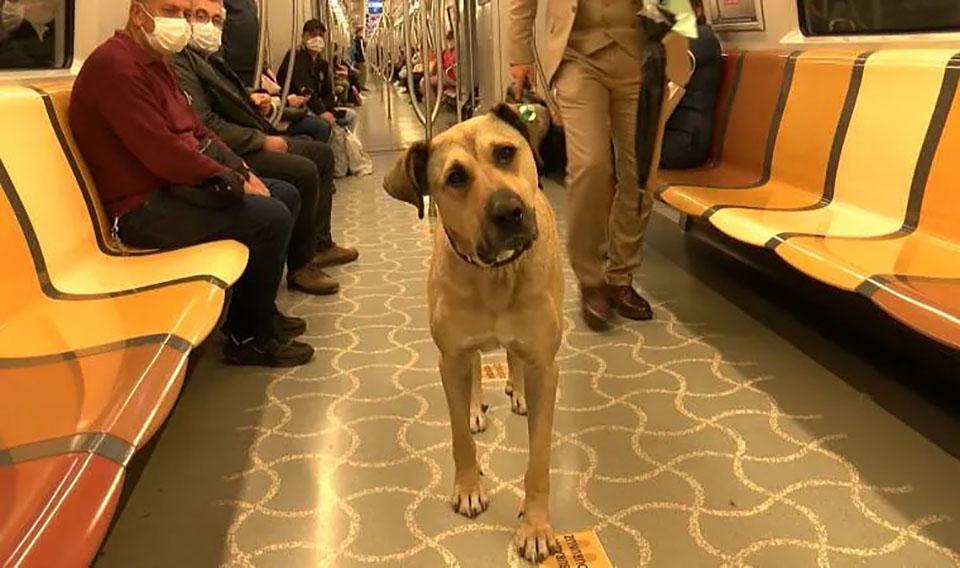 Perro sin hogar sorprende a la genteal usar el transporte público