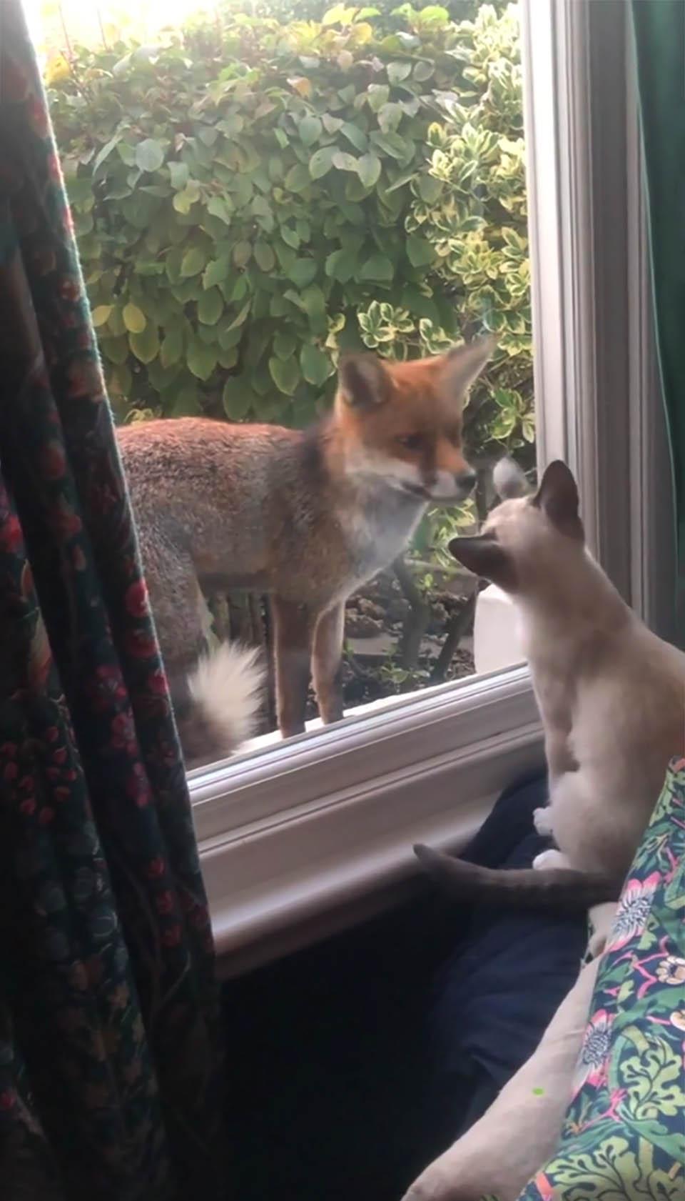 Zorro y gatito